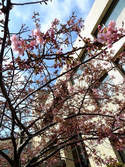 2013開花桜02.jpg